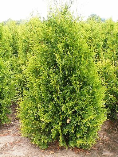 /sale/khvoynye/thuja-occidentalis-brabant-5474/