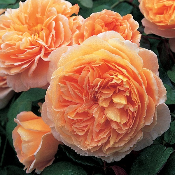 Crown Princess Margaretha
