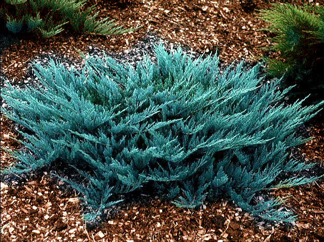 /sale/khvoynye/juniperus-horizontalis-blue-chip/